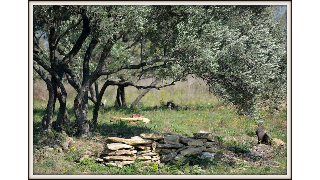 A'lombre de l'olivier