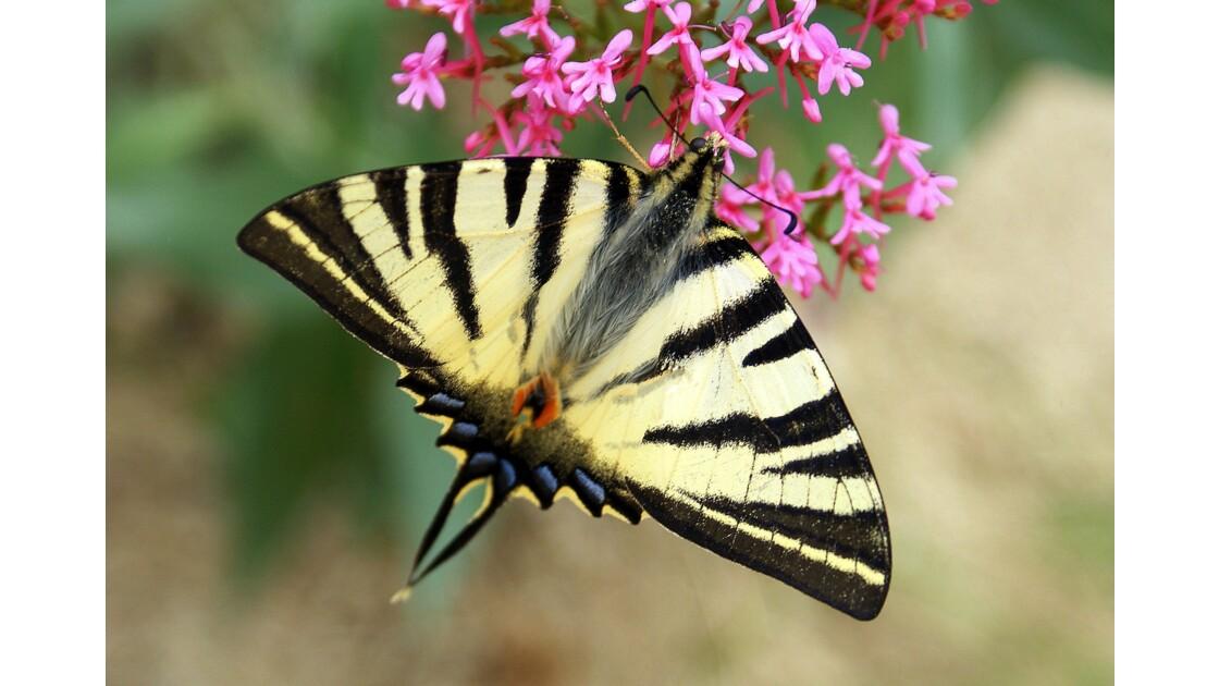 Macro papillons
