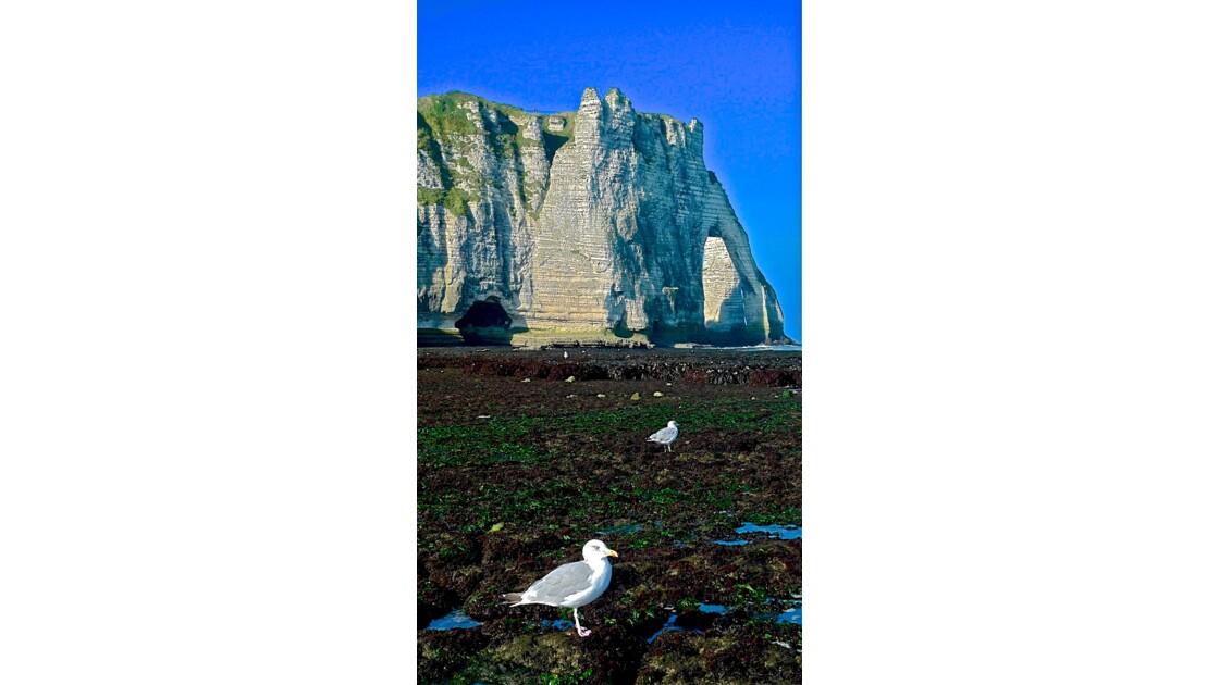 Blanches les falaises, blancs les cormorans