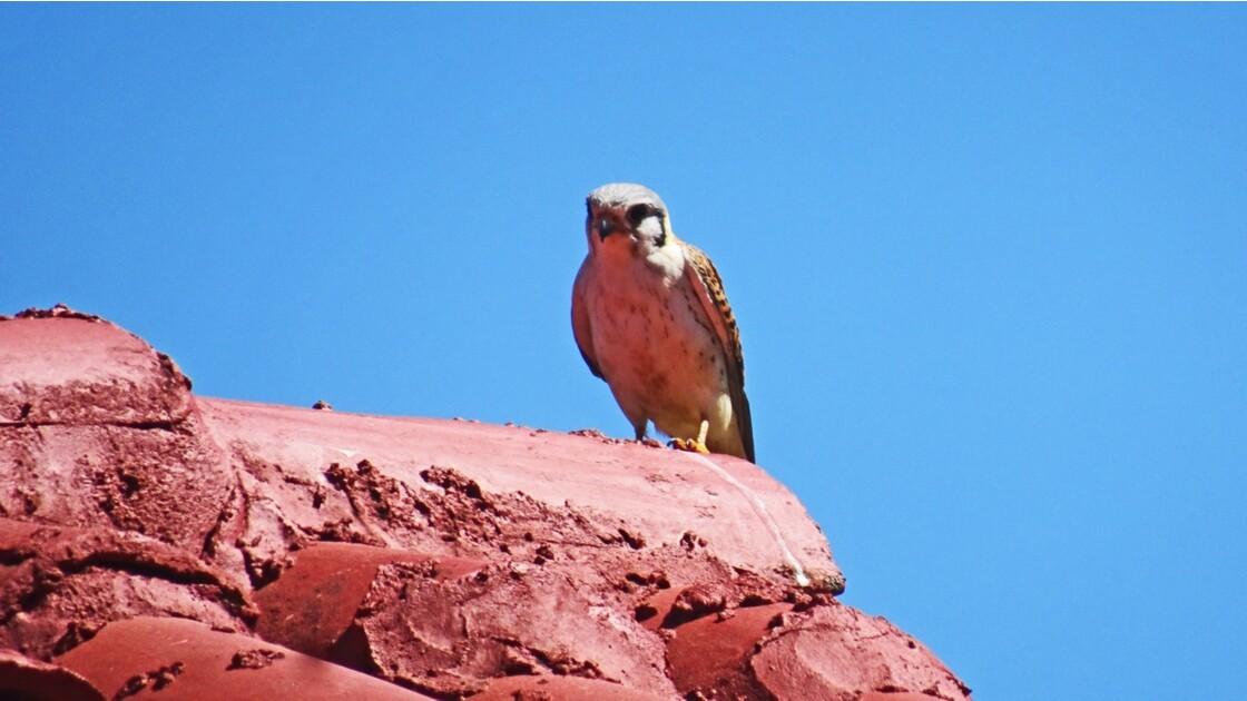 Cuba Atlipano Topes de Collantes Le plus petit oiseau de proie du monde