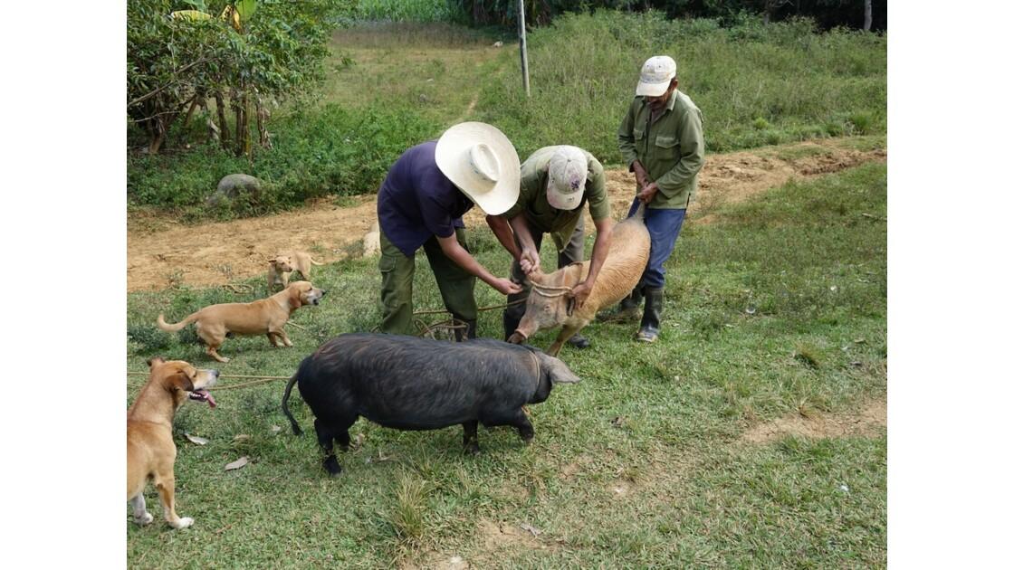 Cuba Vallée de la Sagua capture d'un porc 2
