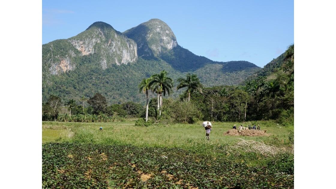 Cuba Vallée de la Sagua Récolte des haricots 2