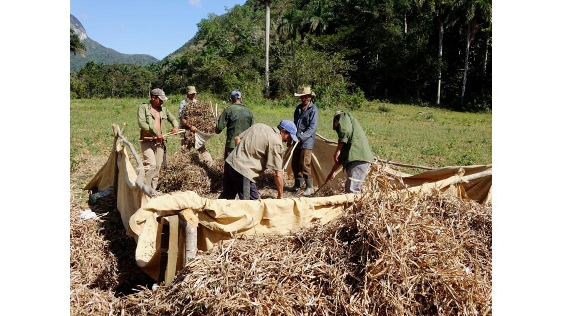Cuba Vallée de la Sagua Récolte des haricots 5