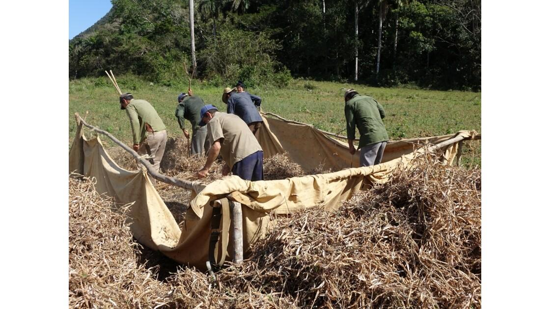 Cuba Vallée de la Sagua Récolte des haricots 6