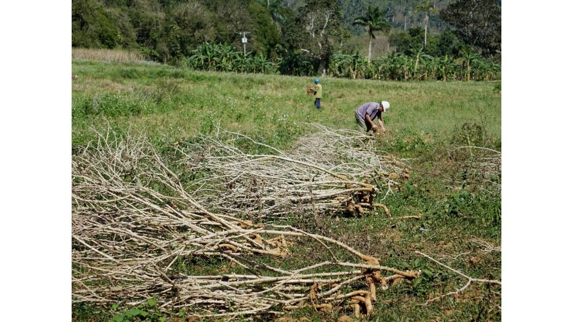 Cuba Vallée de la Sagua Récolte du manioc