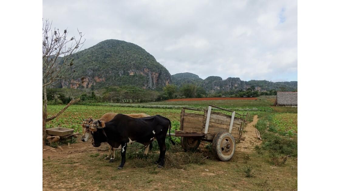 Cuba Vinales chariot cubain sous les Mogotes