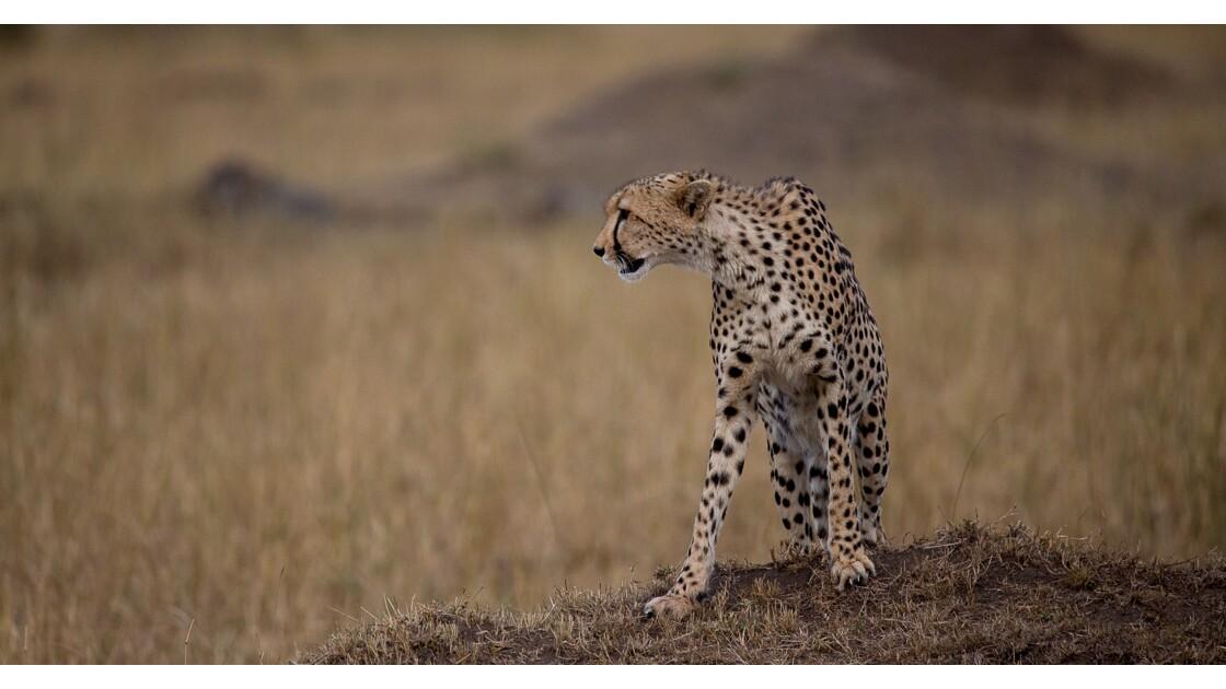 guépard affamé