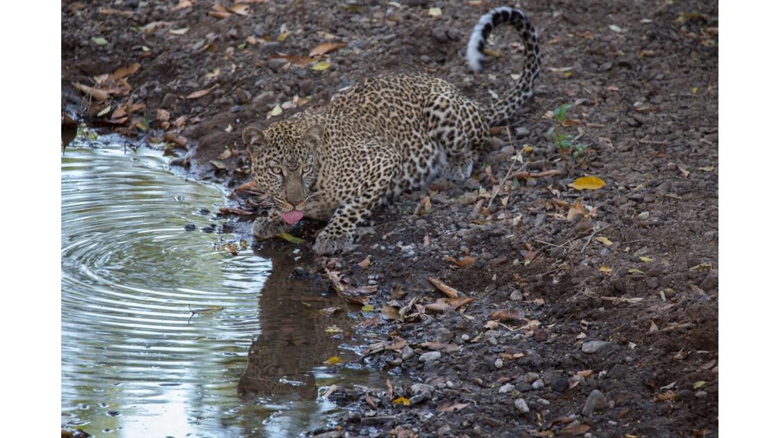 léopard à l'affût