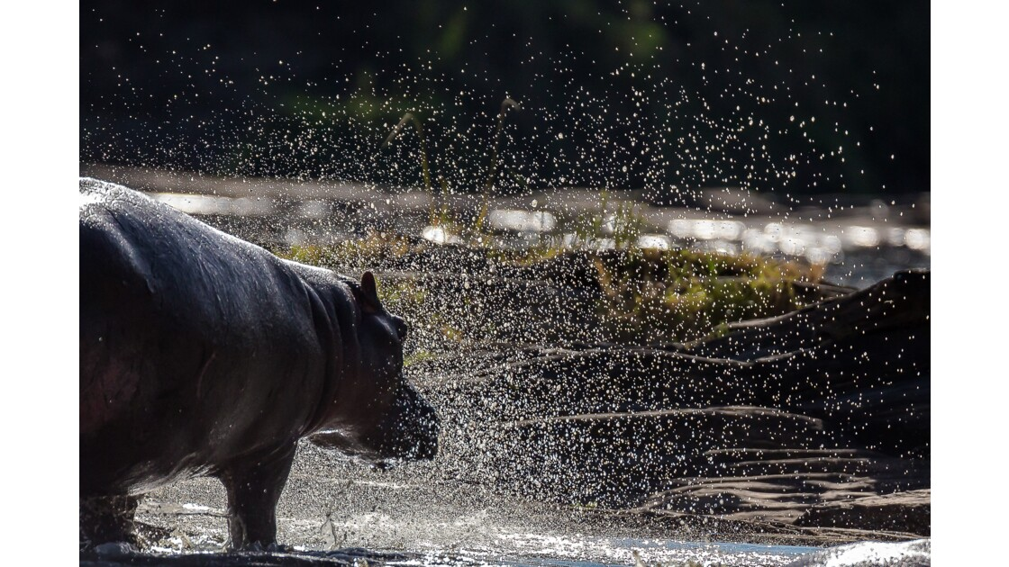 hippo bulles de fête