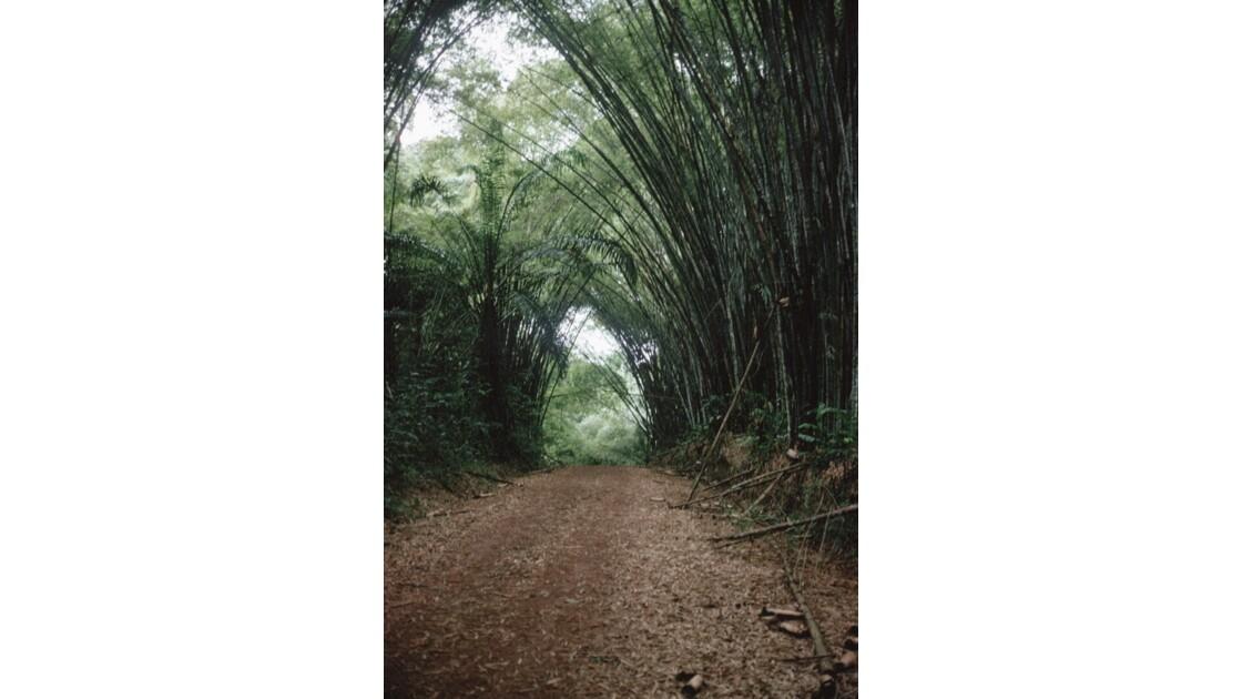 Congo 70 Cathédrale de bambous dans le Mayombe