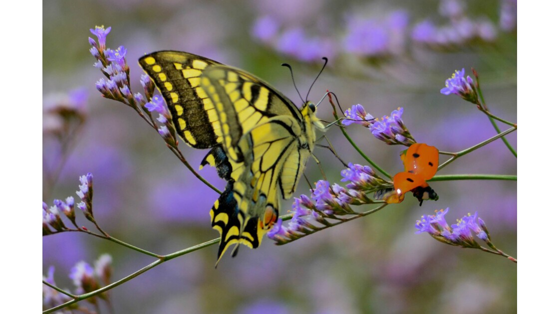 Le papillon et la coccinelle