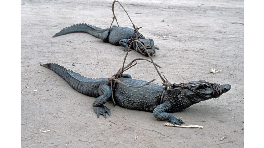 Congo 70 Impfondo Crocodiles capturés
