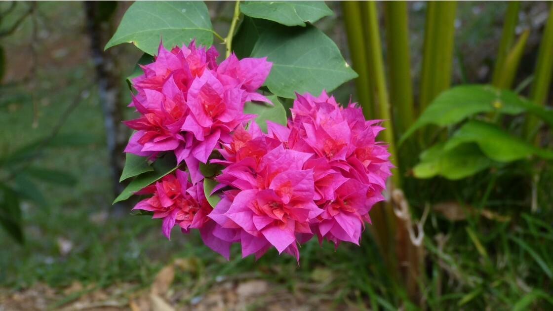 Fleurs du Costa Rica
