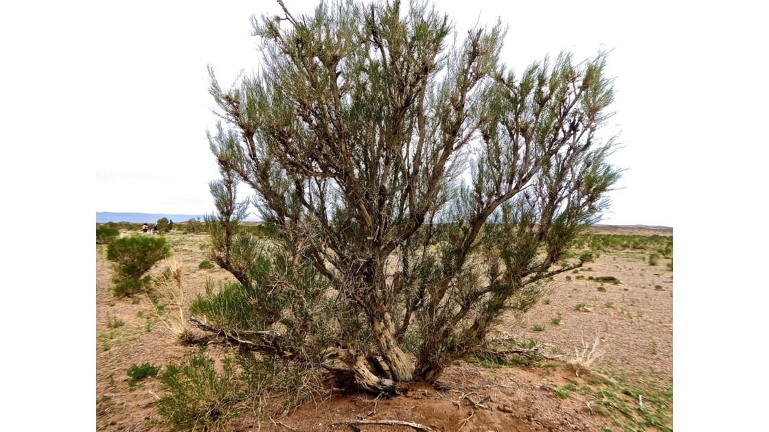 le Saxaoul, arbre endémique de la Mongolie