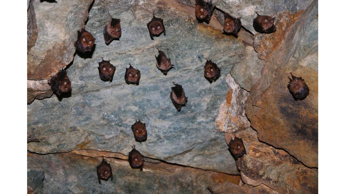 Pipistrelles en Haute Corse