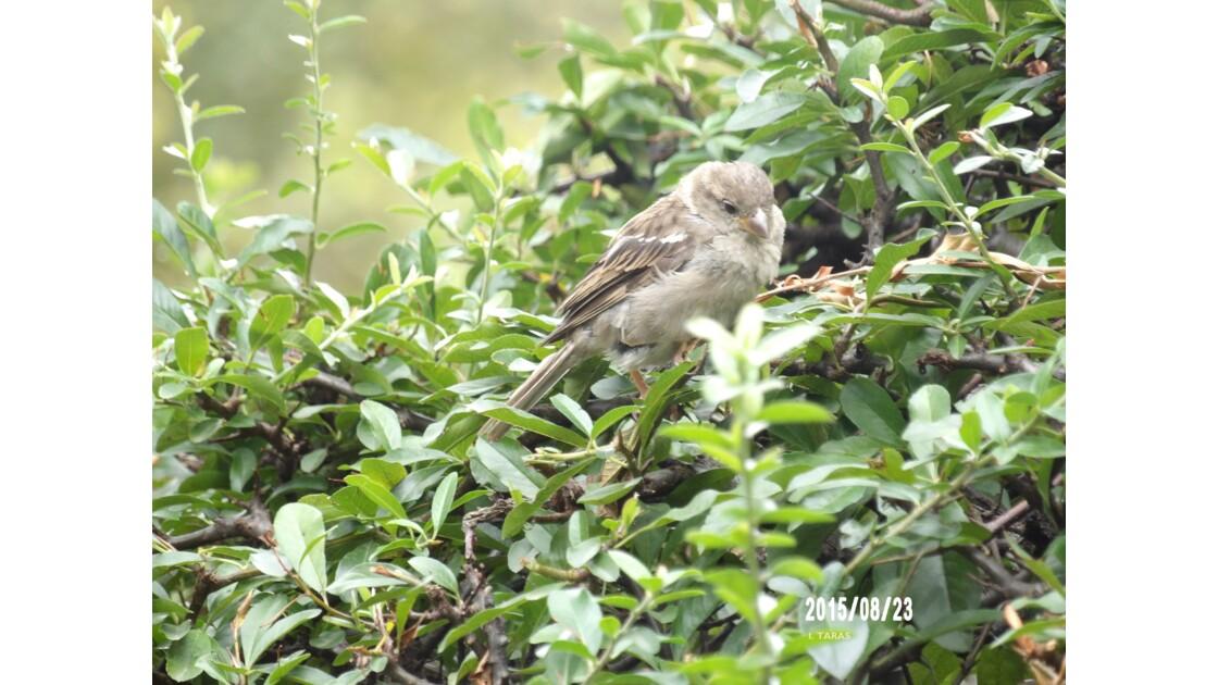 Petite femelle moineau timide