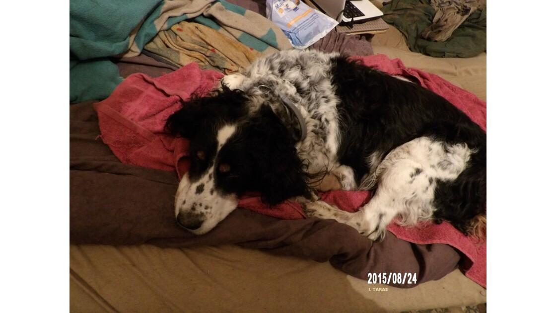 Le repos du chien après la balade
