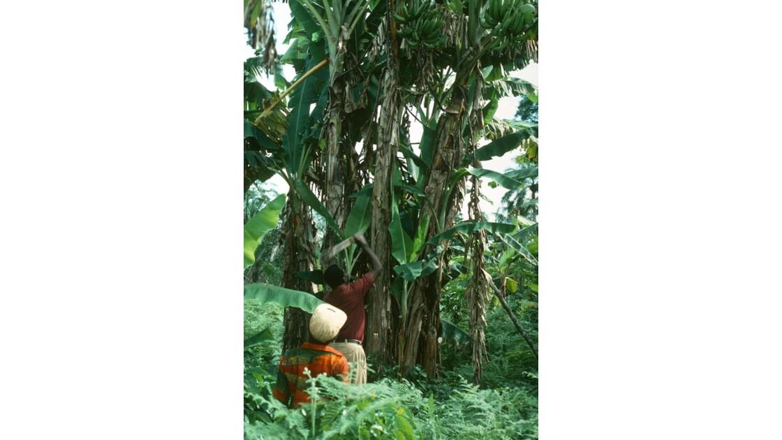 Congo 70 Zanaga la récolte de bananes 1