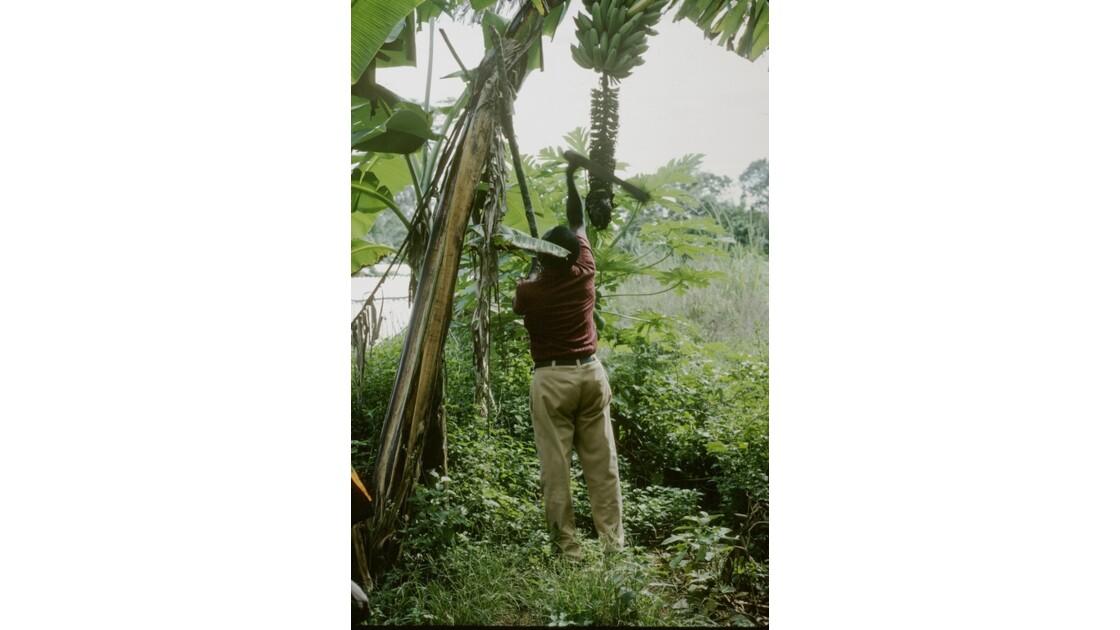 Congo 70 Zanaga la récolte de bananes 2