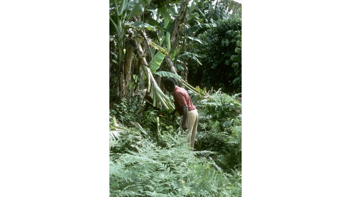 Congo 70 Zanaga la récolte de bananes 3