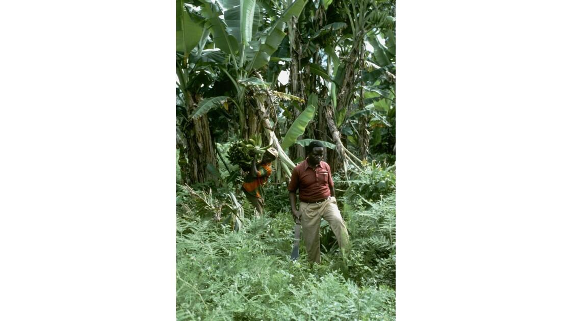 Congo 70 Zanaga la récolte de bananes 4