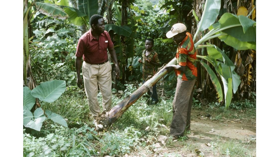 Congo 70 Zanaga la récolte de bananes 6