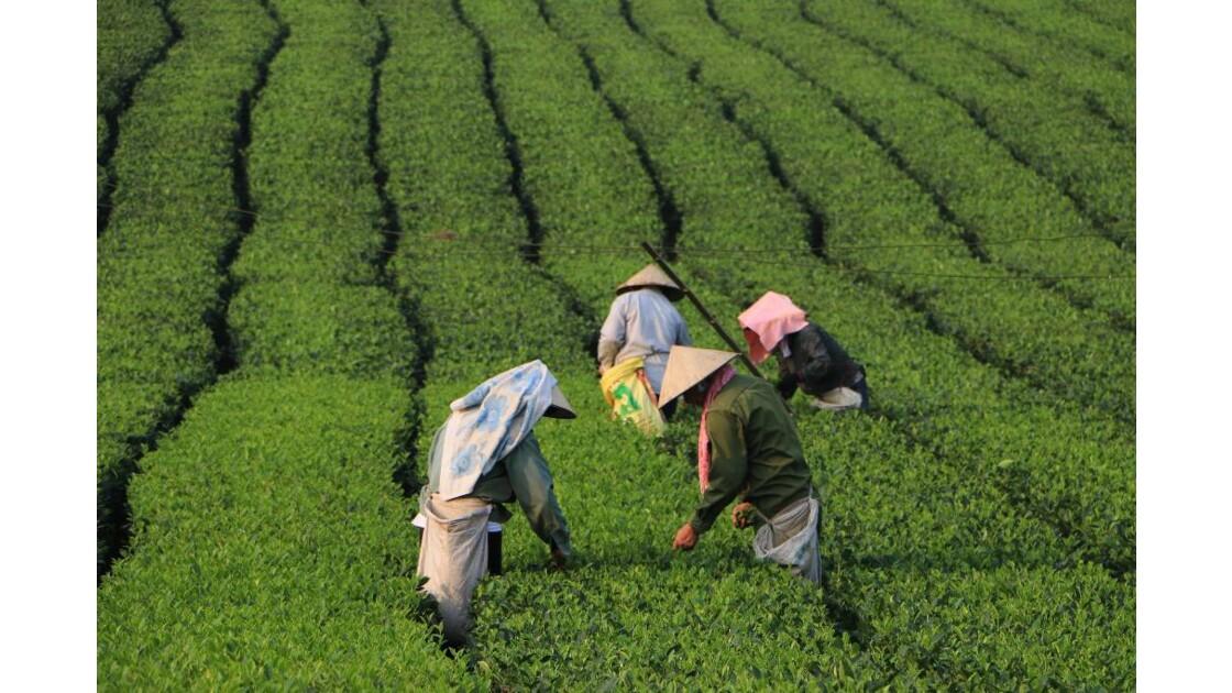 Vietnam (Champs de thé)