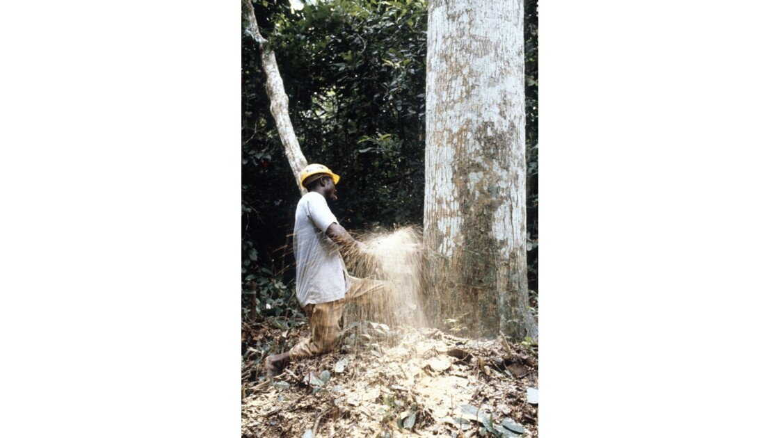 Congo 70 Entre Makabana et Mossendjo Foralac abattage 1