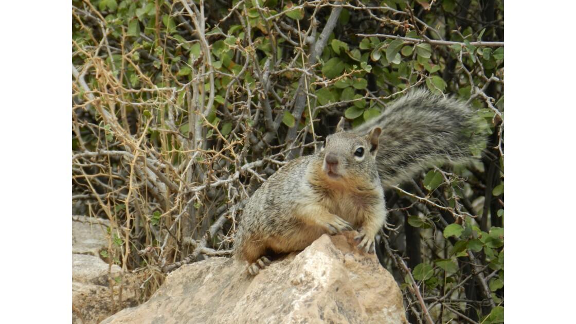 écureuil au Grand Canyon