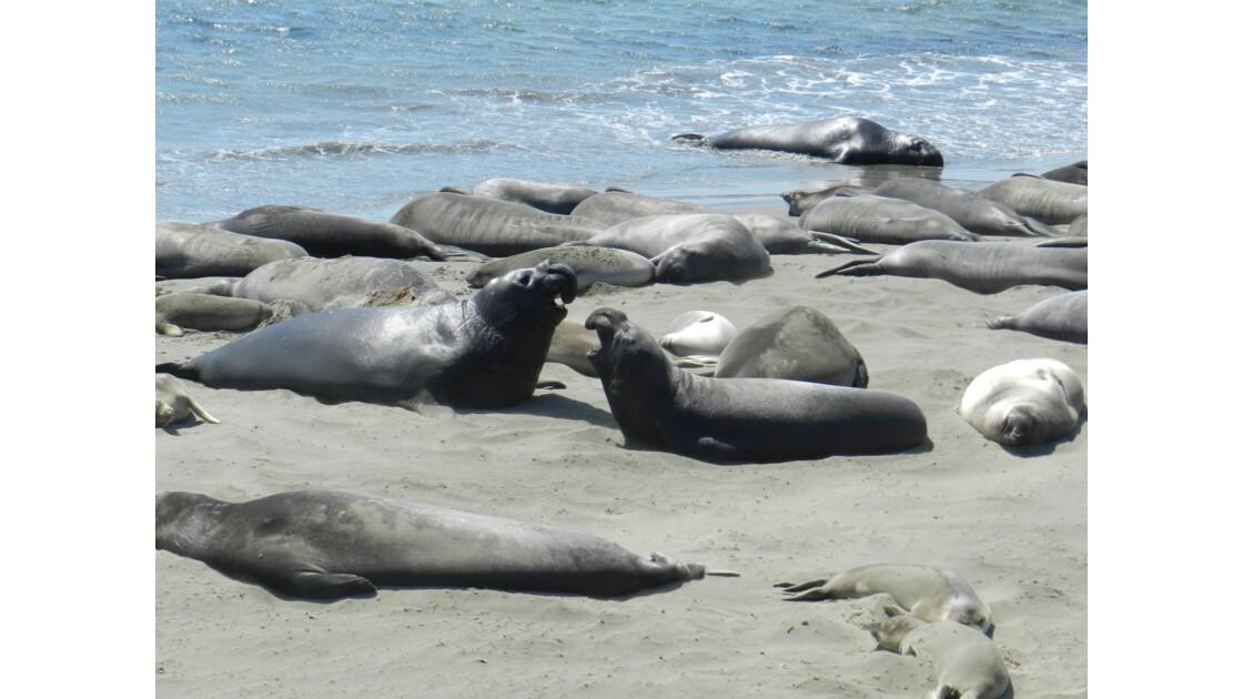 éléphants de mer sur la route de Big Sur