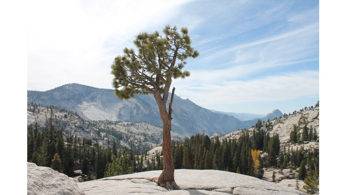 Lonely tree, Yosemite National Park