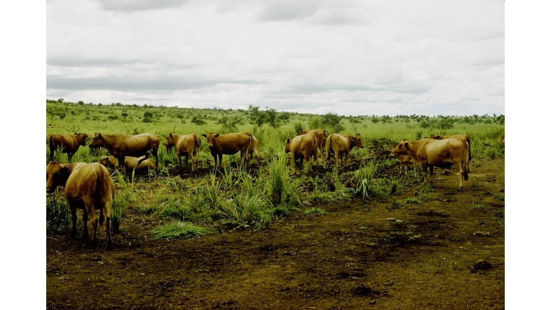 Congo 70 Ranch de la Dihessé vaches Ndama 3