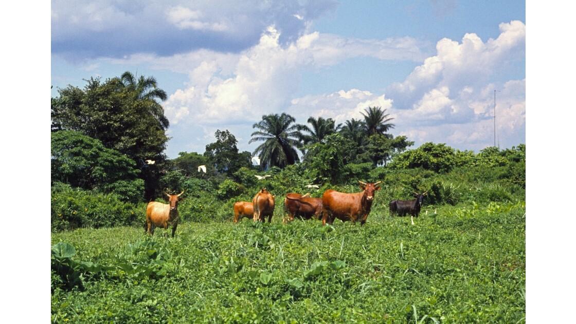 Congo 70 Ranch de la Dihessé vaches Ndama 4