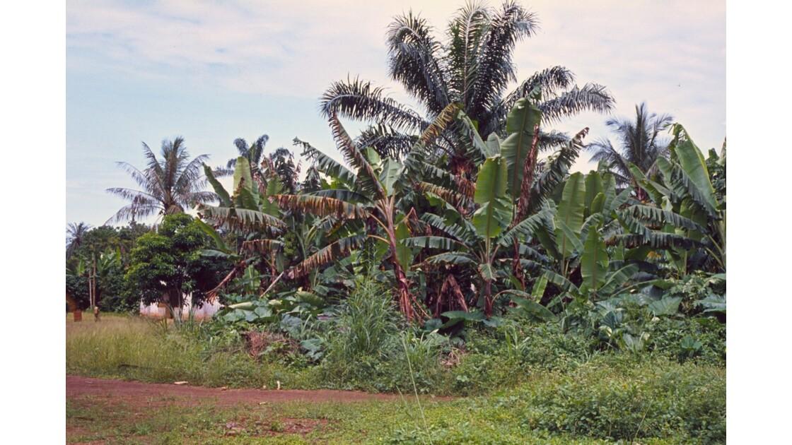Congo 70  Plateaux Téké Bananiers