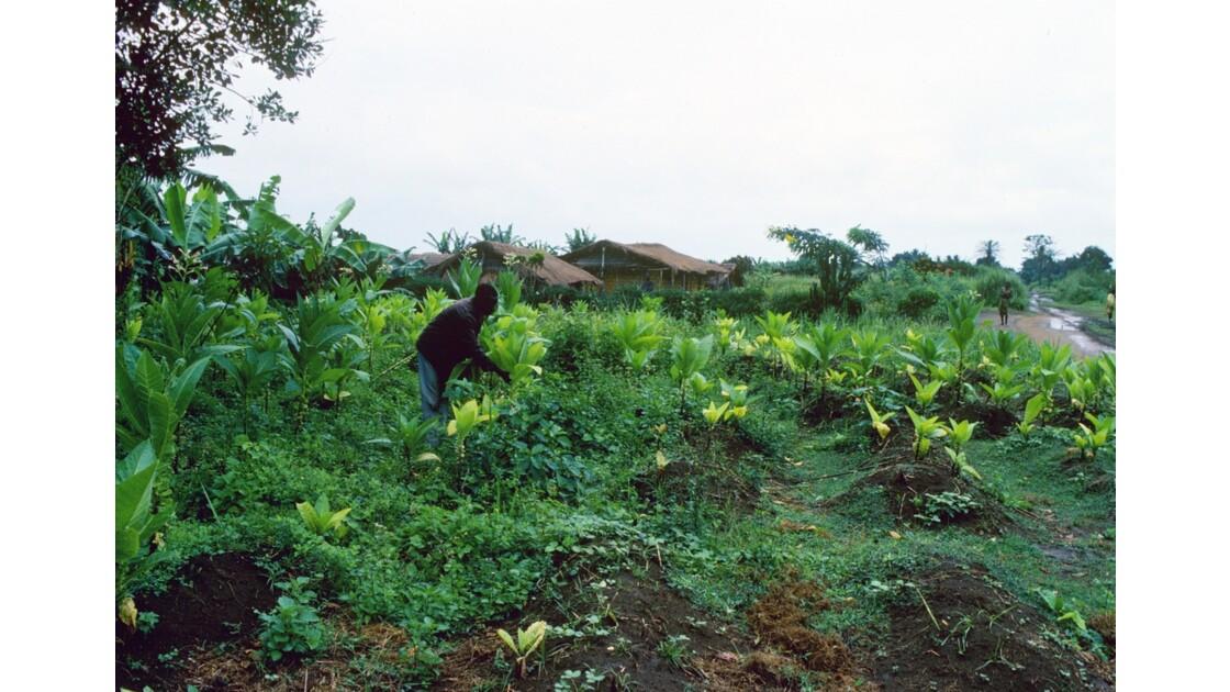 Congo 70  Plateaux Téké champ de tabac 2