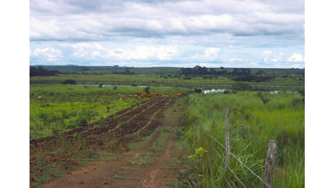 Congo 70 Ranch de la Dihessé vaches Ndama au bord du Niari 2