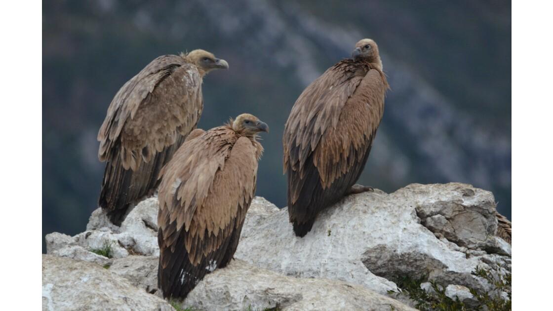 Les vautours fauves