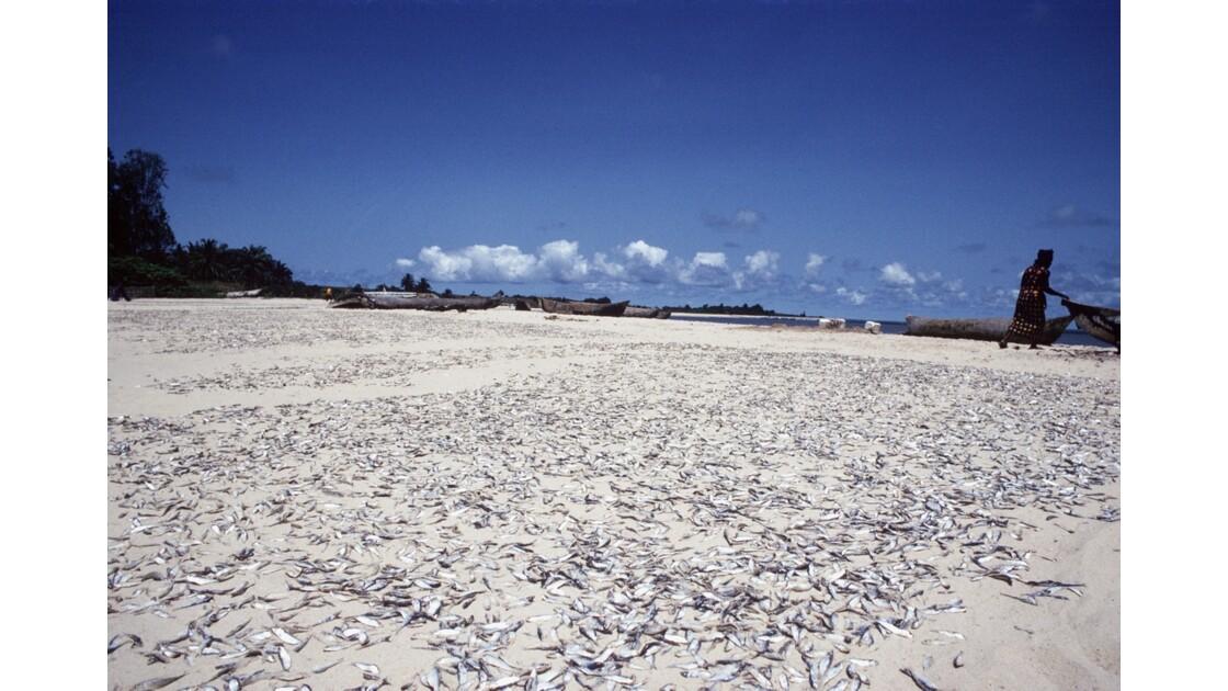 Congo 70 Baie de Loango séchage des sardines 7