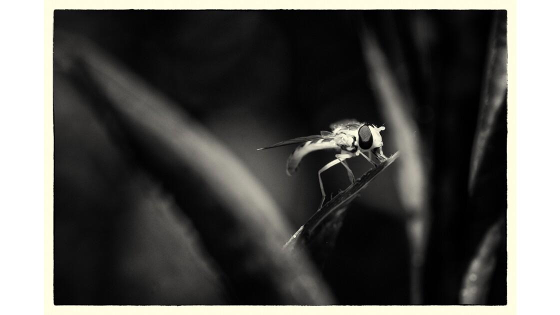 Syrphe en noir/blanc
