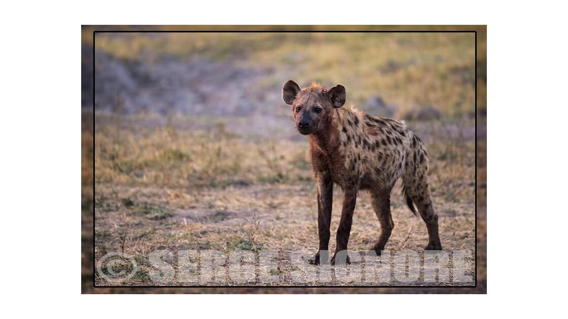 Où y a d'la hyène, y a pas de plaisir.