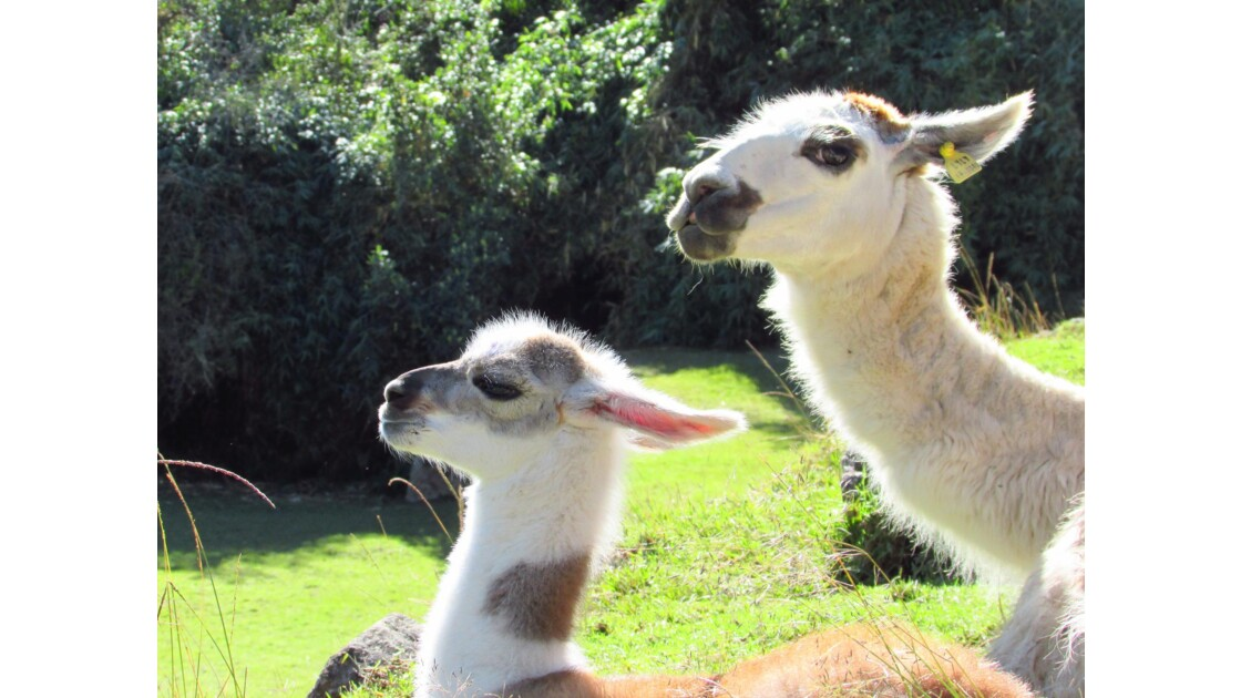 Lamas au Machu Pichcu