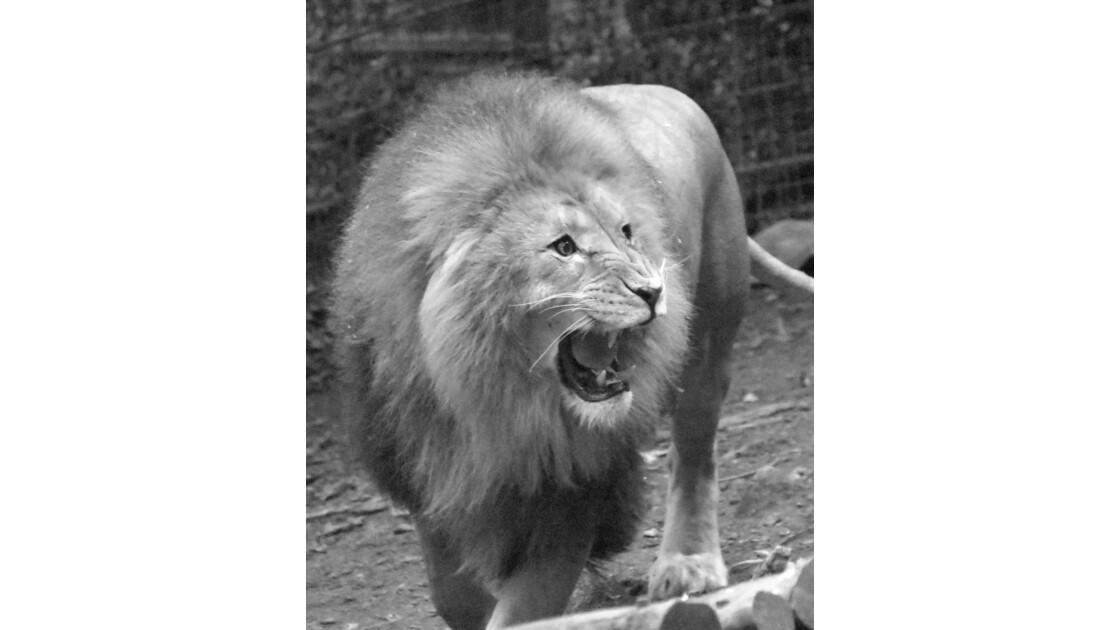 Le lion attend son repas