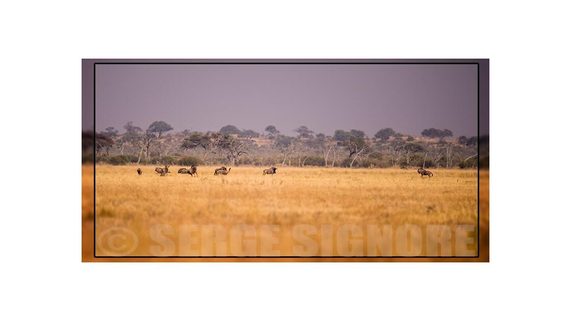 Course de gnous à Savuti