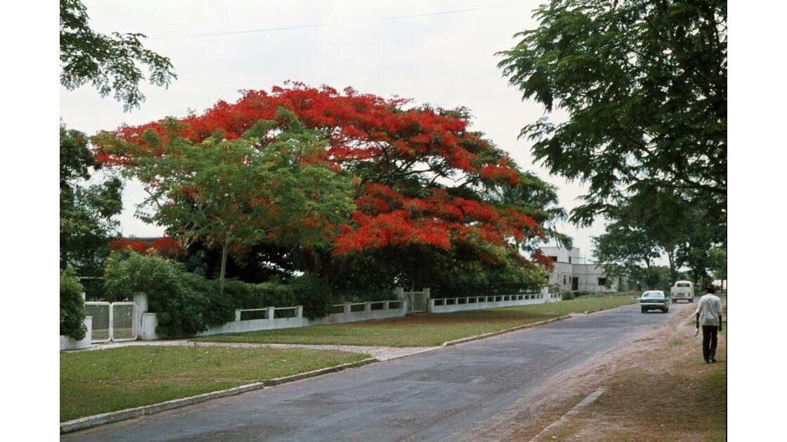 Congo 70 Les flamboyants de Brazzaville 7
