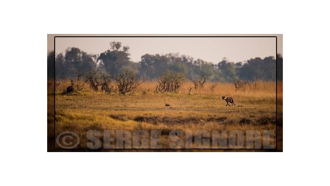 Une hyène sur Khwaï
