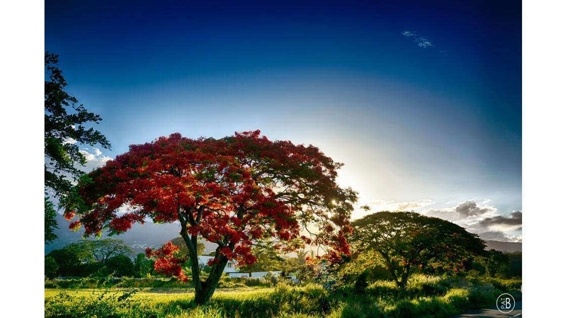 Flamboyant - a hot summer 1