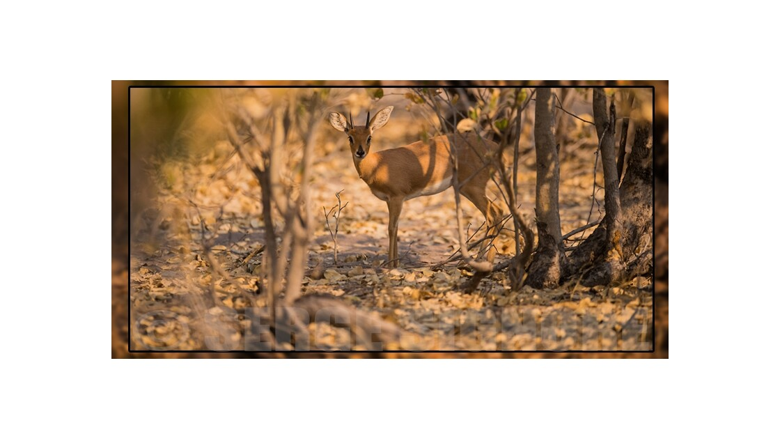 Steenbok (v2)