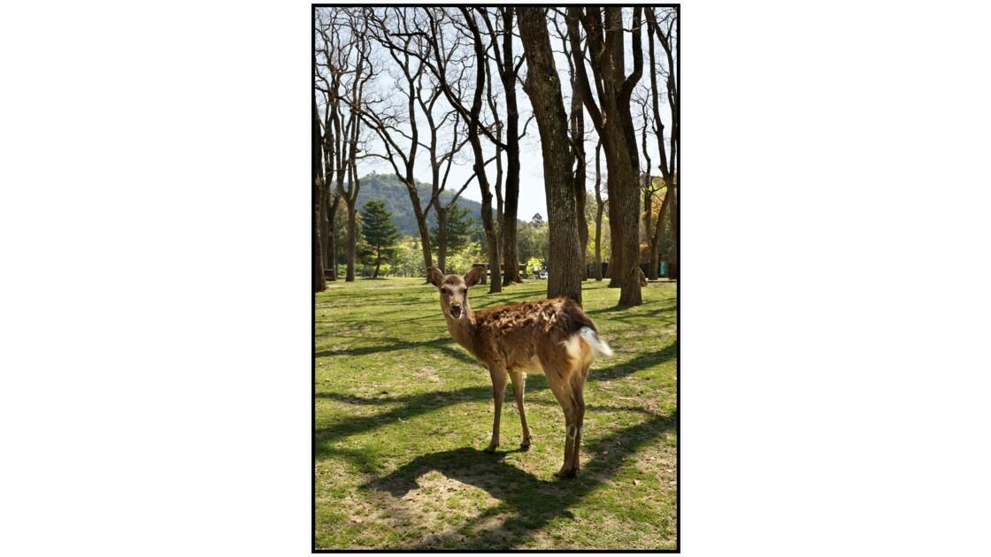 Nara - Tōdai-ji - Cerf Sika