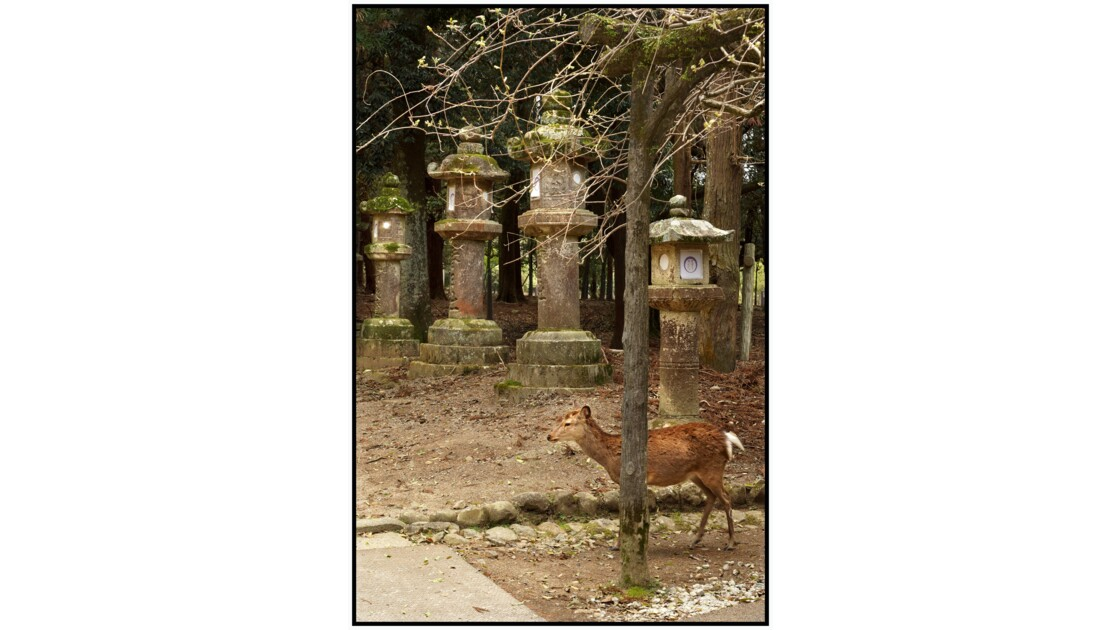 Nara - Cerf Sika et Tōrō