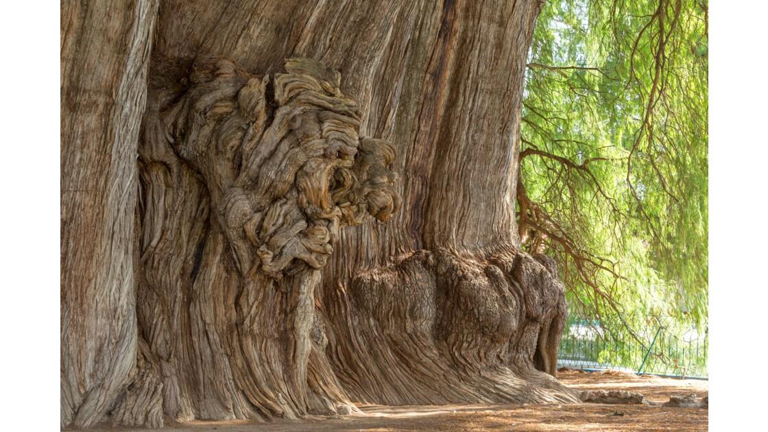 Le plus gros arbre du Monde
